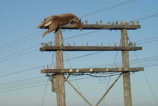 Electrical Power Poles : Deer on power pole ecn electrical forums